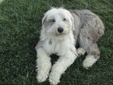 My Old English sheepdog Sophie 11/10/99-5/11/15