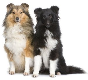 Shetland Sheepdogs (Sheltie)